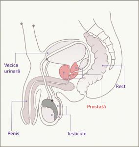 Localizarea anatomică a prostatei